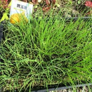 中生玉ねぎ植える & 残念なブロッコリー