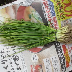 晩生玉ねぎも植える & 収穫続々