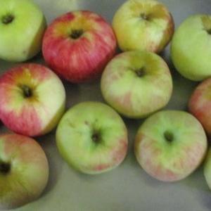 冬野菜の植え付け,リンゴ色々