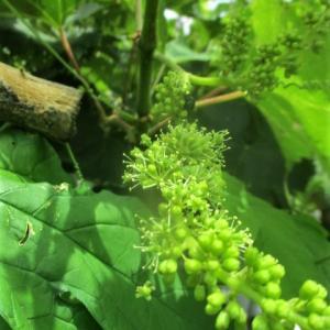 梅雨で実も葉も腐る