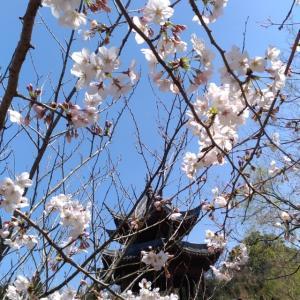 冠嶽神社周辺の桜が開花