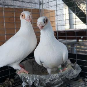 殖えないドイツ鳩