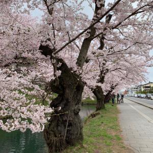 桜のおすそ分け