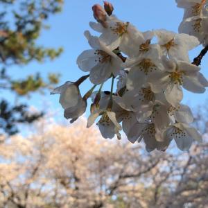 桜満開、春休み