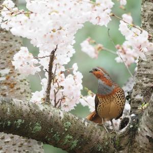 満開の桜とコジュケイ