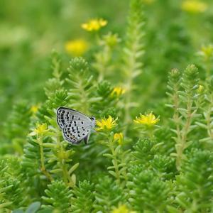 ムシャクロツバメシジミと食草のメキシコマンネングサ