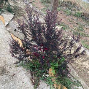 赤い花の咲くマヌカツリー