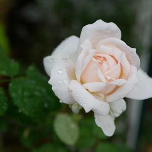 10月8日の庭<秋バラ>