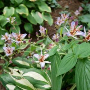 10月20日のホトトギスだけが咲く庭