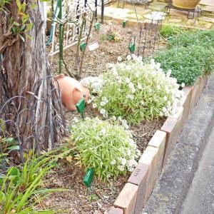 2月2日の庭<スノードロップが咲いていた>