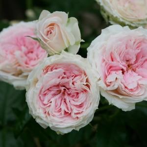 6月5日のバラ
