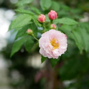 7月15日の庭<元気なバラがいる>