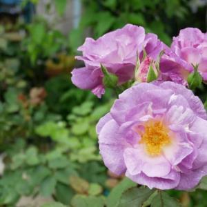 7月27日の庭