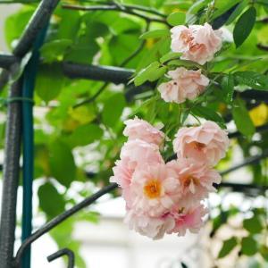 7月31日<梅雨顔のバラ>