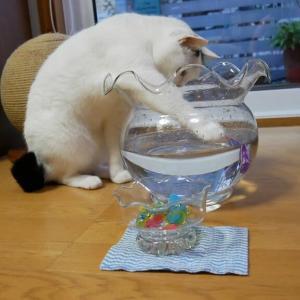 金魚鉢でお魚ロボット鑑賞🐟😸
