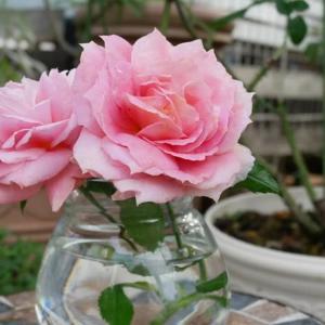 18日のバラたち