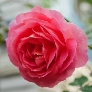 たった5種類のバラ(^^;)