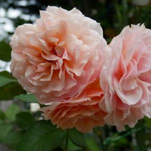7月12日の庭<バラがすこ~し>