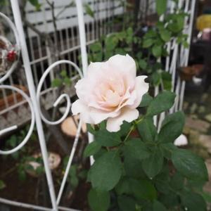 9月15日の庭<バラだったり苗だったり>