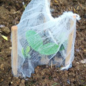 登園拒否の理由  /  家庭菜園初心者なりに考えたナメクジ対策