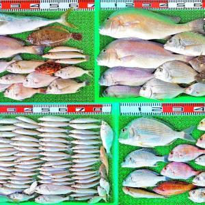 湾内ハイカラ釣りで63cmのコロダイ!キスは3人で81匹!