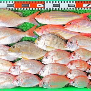 沖は赤いお魚が好調!湾内はハイカラ釣りでヒラメやマゴチ!