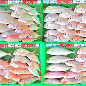 絶好の釣り日和に平日でも写真11枚の大漁!チダイ、ヒョウゴ、ネイリなど!