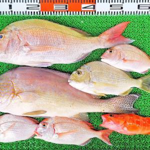 テンヤでゴーマル真鯛!アジの泳がせ釣りでヒラメやネイリ!