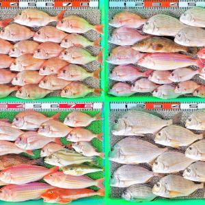 冬晴れの釣り日和にマダイ、チダイ、ヒョウゴ、イトヨリ、コロダイ、クエなど!