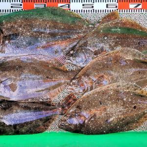 冬のヒラメシーズン到来!泳がせ釣りで65cm/2.7kgから1kgまでヒラメ6匹!