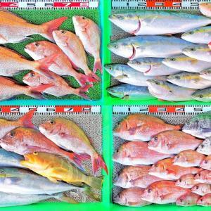 タイラバで70cm真鯛!ジグで青物!泳がせヒラメ!湾内はハイカラ!好釣果続出!