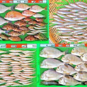 湾内ハイカラ釣りでヒョウゴ!キスは2人で40~60匹!