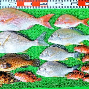 ハイカラ釣りでマダイ、ヒョウゴ、キビレ、ガシラ、ハタなど!キスは5人で50匹ほど