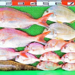 湾内ハイカラ釣りは込潮好調で55cmの良型マダイやキビレ多数!