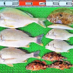 湾内ハイカラ釣りでキビレ、ヒョウゴ、ガンゾウ、ガシラなど!