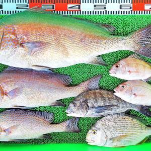 ハイカラ釣りで70cmコロダイ、チヌ、ヒョウゴ!沖は良型アジ!