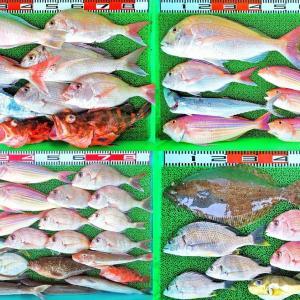 沖好調で60cmマダイを筆頭に魚種多数で白甘鯛も!湾内はテンヤで52cmヒラメ!