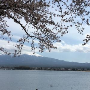 河口湖畔の桜   フジザクラも満開