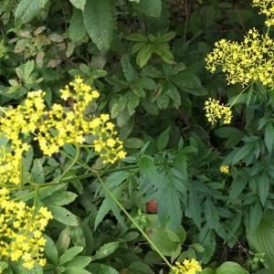 石川遼君 連続優勝 おめでとう   秋の野の花