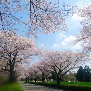 桜、ありがとう。
