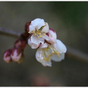 我が家の開花宣言は、さくらんぼの花、ミモザはもう満開です\(>∀<)/