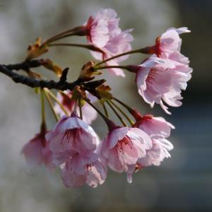 秋に桜満開