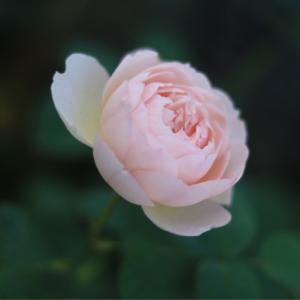 ピンクで咲いたジェントルハーマイオニー