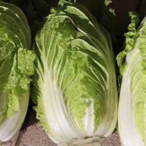 大根、白菜の収穫