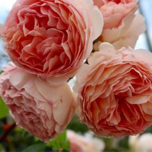 最後の薔薇