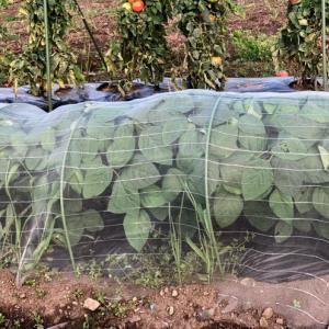 枝豆の収穫*グラミスの2番花
