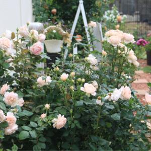 アンブリッジローズの2番花
