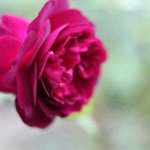 秋のバラはひっそりと