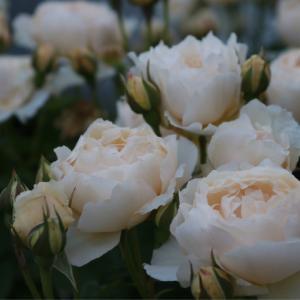 薔薇の入れ替え