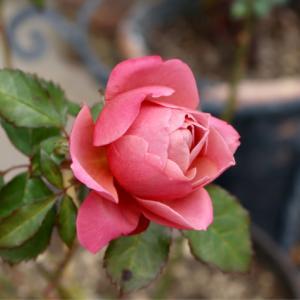 最後のバラ